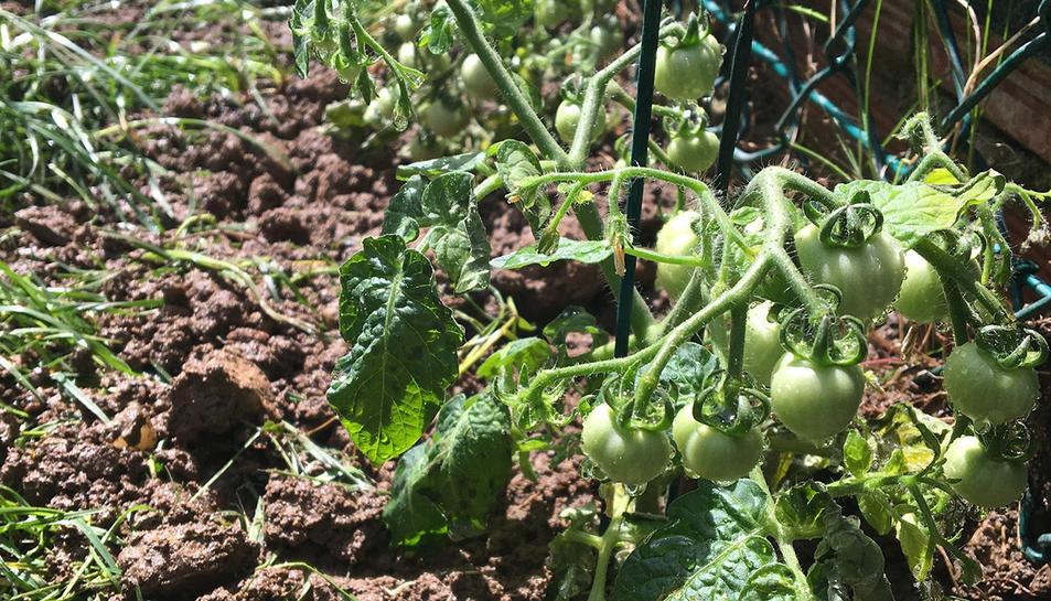 Una de les plantes estudiada ha estat la tomaquera.