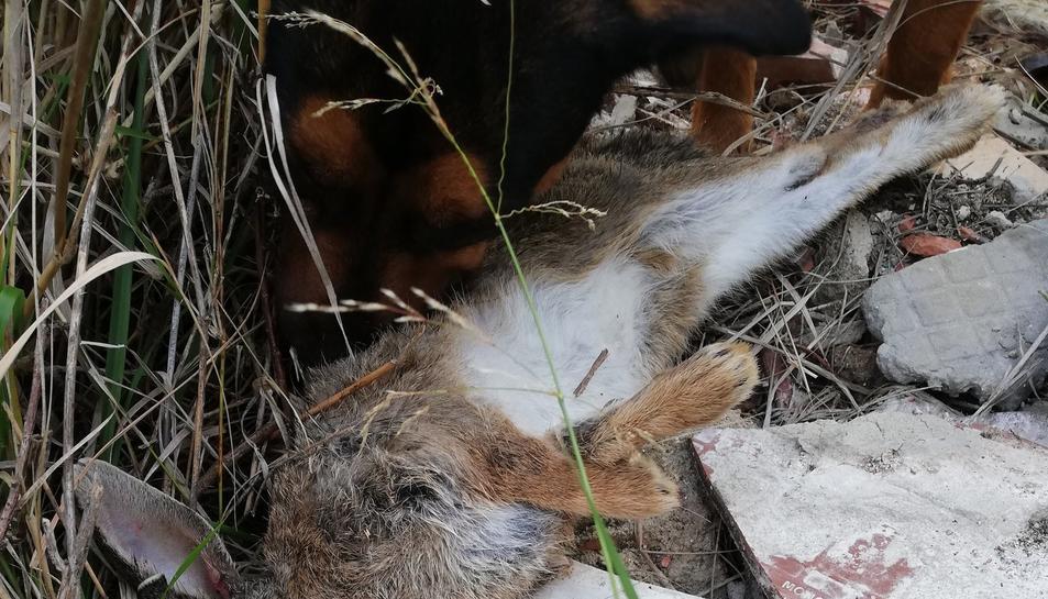 Fotografia d'un conill mort pels llaços al polígon de La Floresta