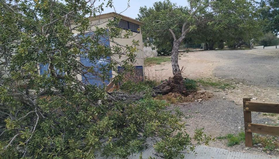Un arbre caigut a Altafulla a causa del vent.