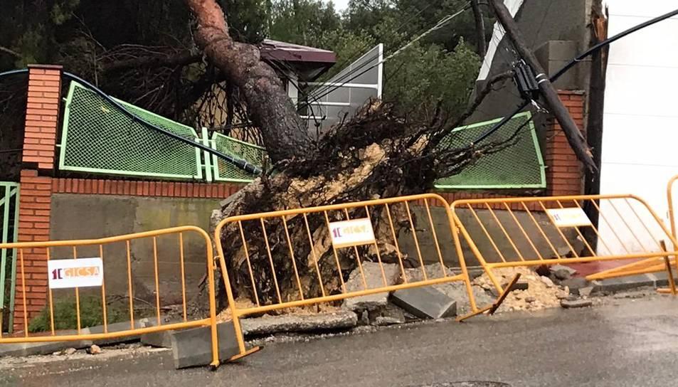 Un arbre caigut pel temporal a Cala Romana.