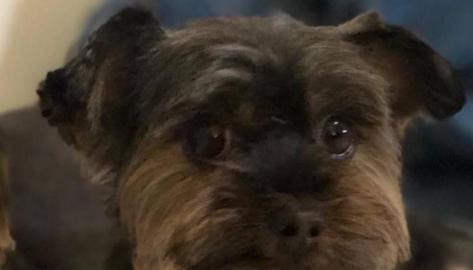 Imatge del gos desaparegut.
