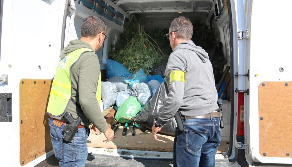 Els Mossos carreguen la marihuana comissada a Alfarràs.