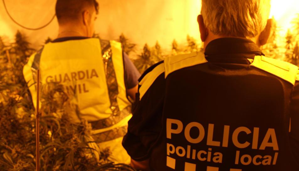 Imatge d'arxiu d'una actuació policial a una plantació de marihuana.