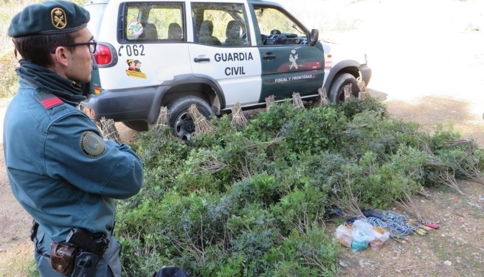 Imatge de les plantes que van ser confiscades.