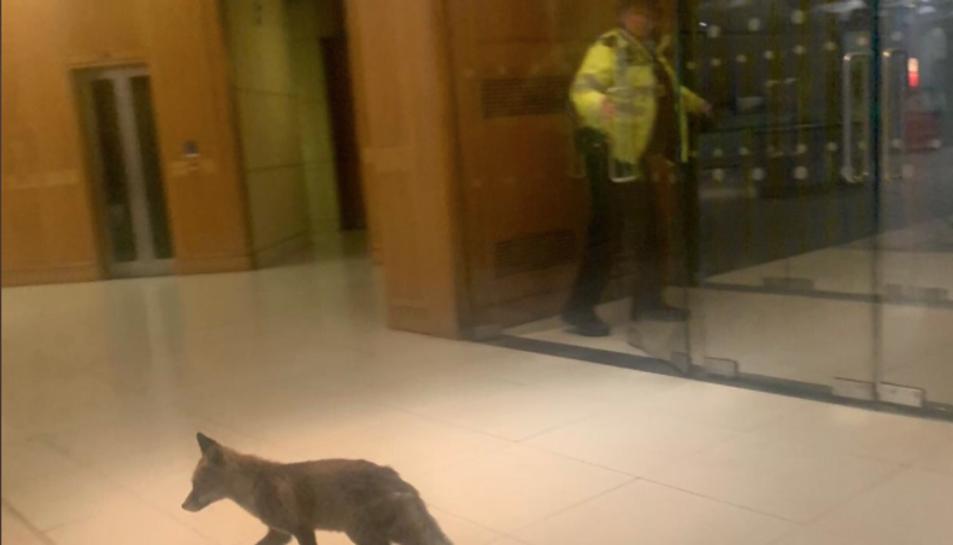 Imatge de l'animal passejant per l'edifici.