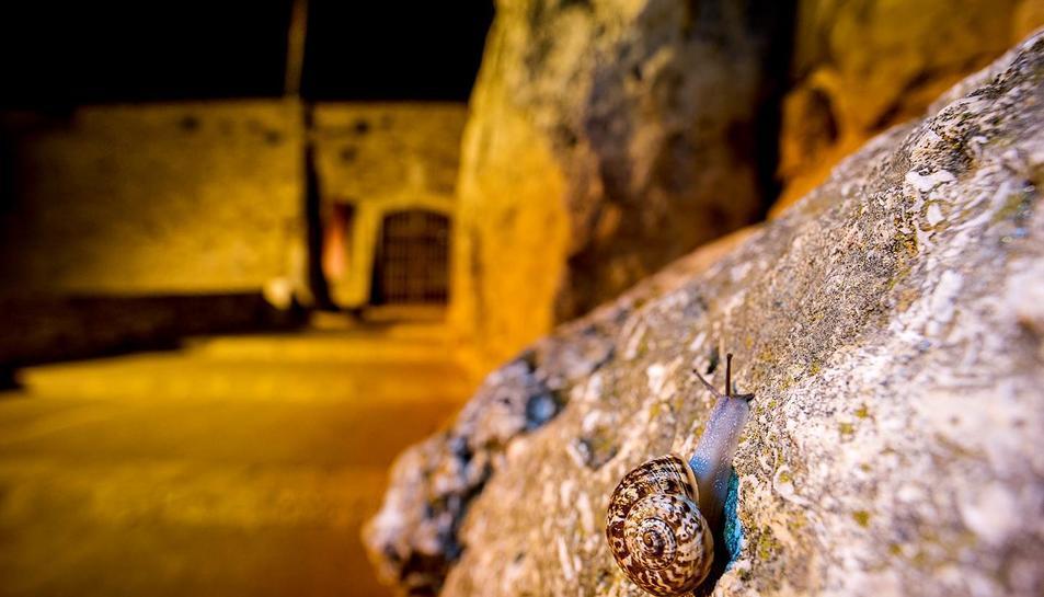 Exemplar de caragol propi de Mallorca, localitzat a la Muralla romana de Tarragona.