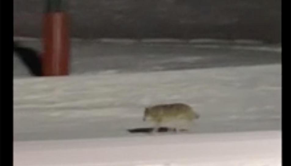 Captura d'imatge del vídeo on es veu el llop a Núria.