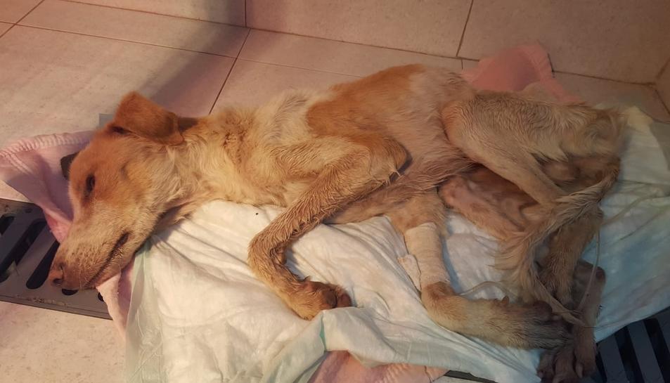 El gos el primer dia que va ser trobat