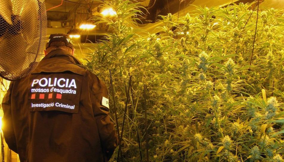 Un agents dels Mossos a la zona de la plantació de marihuana.
