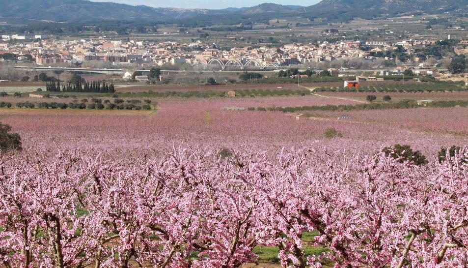 Pla general d'un camp de presseguers florits, amb Móra d'Ebre al fons.