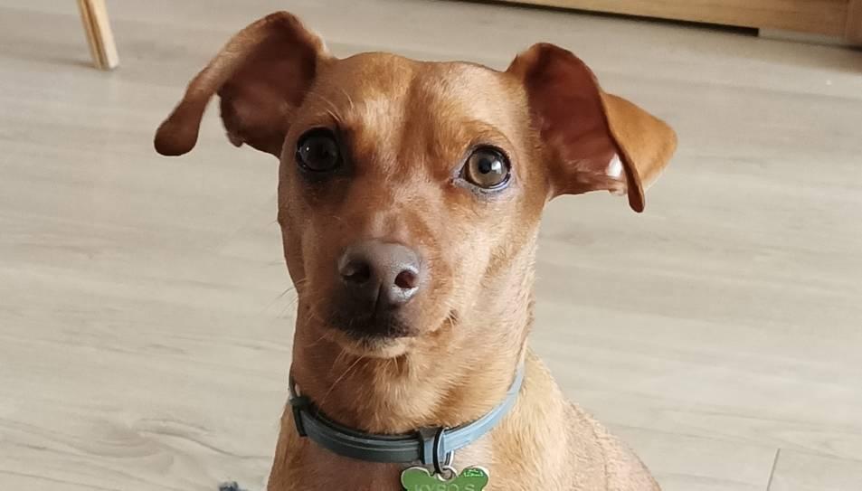 Imatge de gos perdut.