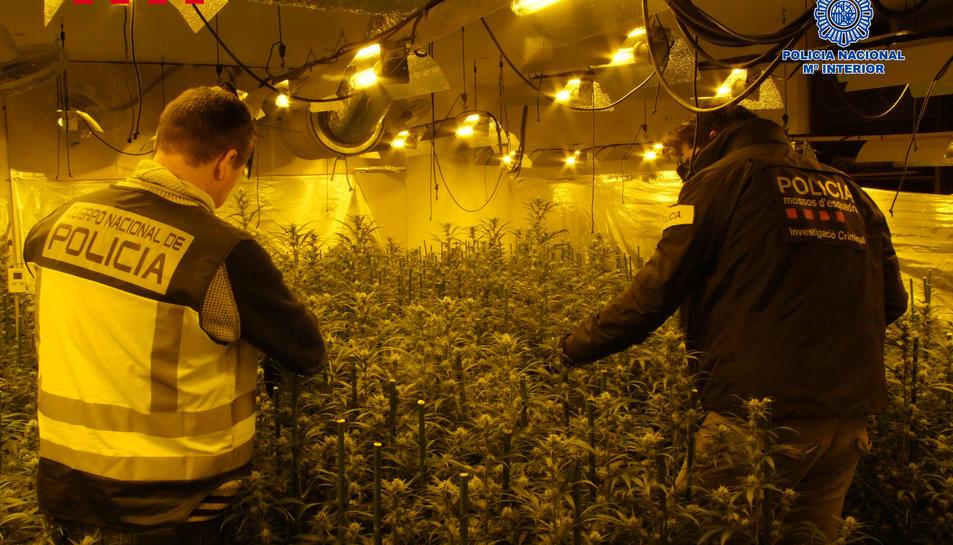 Agents inspeccionant la plantació de marihuana.