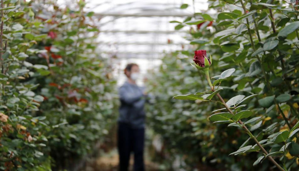 Un floricultor cuida les roses que s'havien de vendre per Sant Jordi i que ara tenen un futur incert.