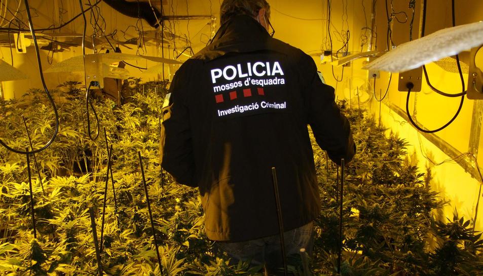 L'interior de la plantació de marihuana intervinguda.