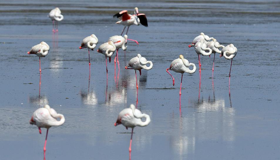 Una colònia del flamencs al Parc Natural del Delta de l'Ebre