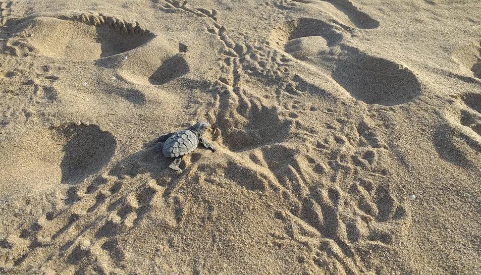La tortuga careta a les platges de Catalunya.