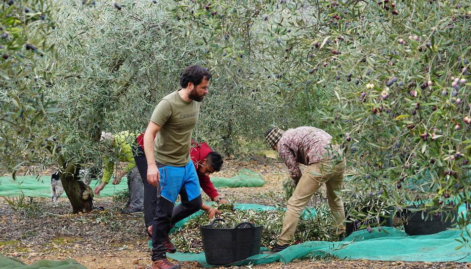 Treballadors de l'oliva a Godall, municipi que compta amb 177 oliveres mil·lenàries.
