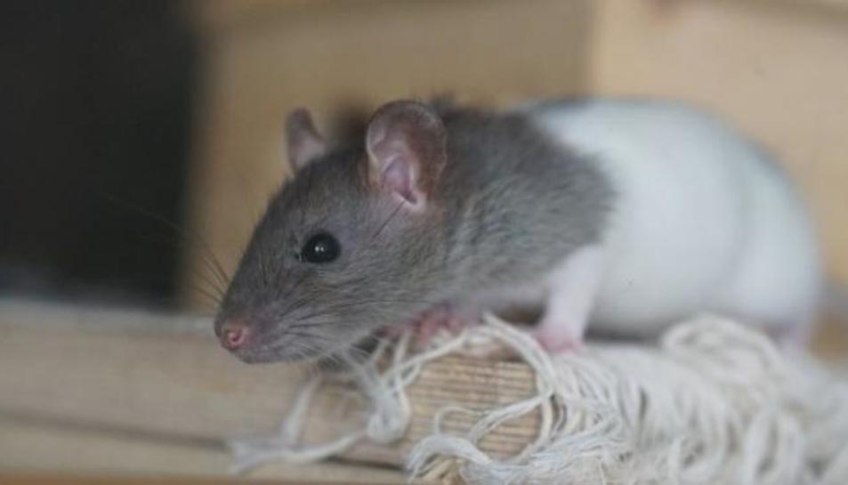 Augmenten plagues de rates, mosquits i paparres després del confinament