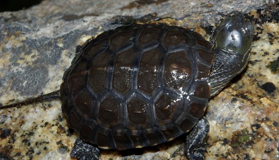 Imatge d'arxiu d'una tortuga de rierol.