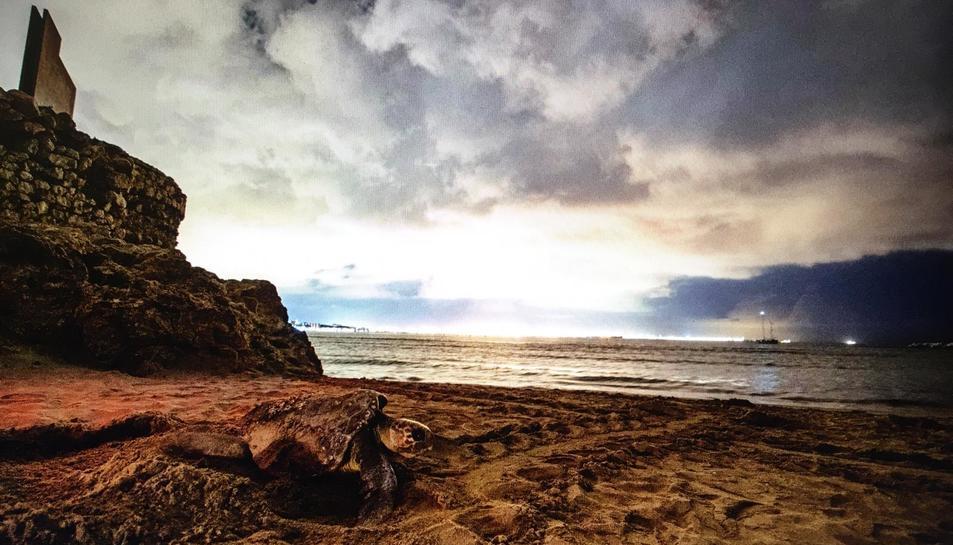 Imatge de la tortuga babaua a la Pineda.