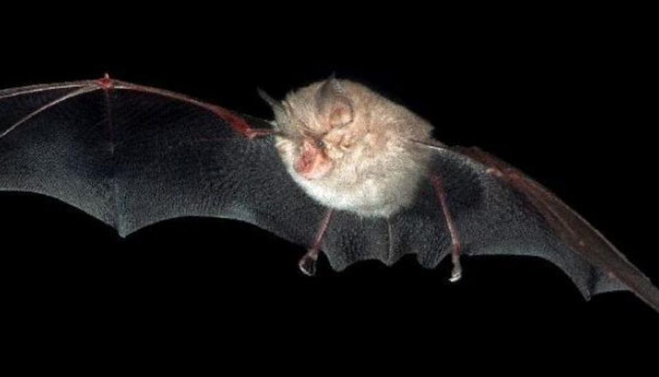 Imatge d'un ratpenat de ferradura petit