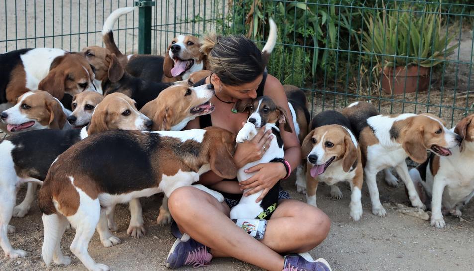 L'associació va aconseguir rescatar 32 gossos de a raça BEagle.