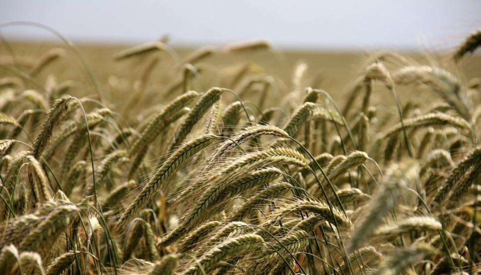 Imatge d'arxiu d'un camp de blat.