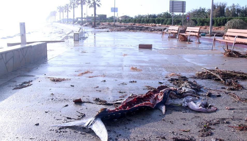 Pla general d'una tonyina escorxada amb la platja de l'Arenal de l'Ampolla al fons.