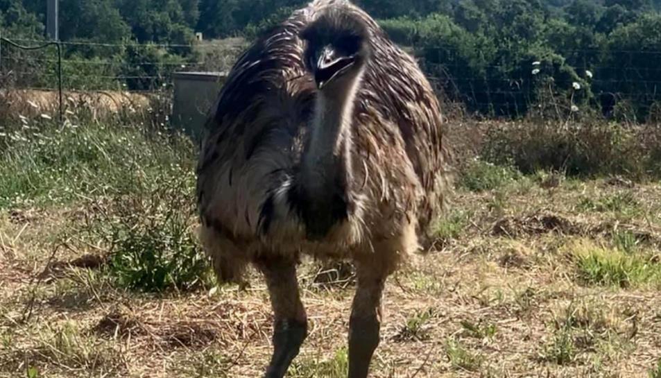 L'emú que han robat d'una finca de Llagostera