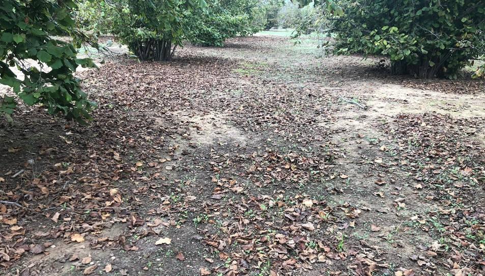 Una finca on van robar les avellanes que hi havia agrupades al terra.
