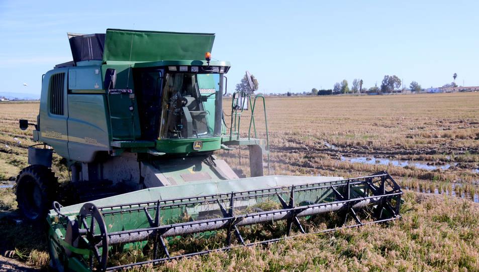 Una màquina recol·lectora segant en un camp d'arròs de Deltebre.