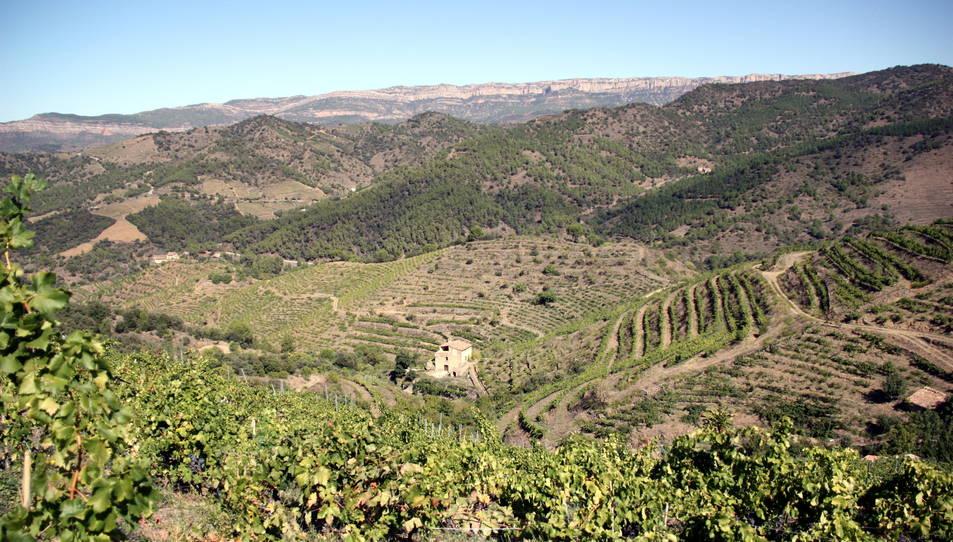 Diverses vinyes al terme municipal de Porrera, al Priorat, amb la Serra de Montsant al fons.