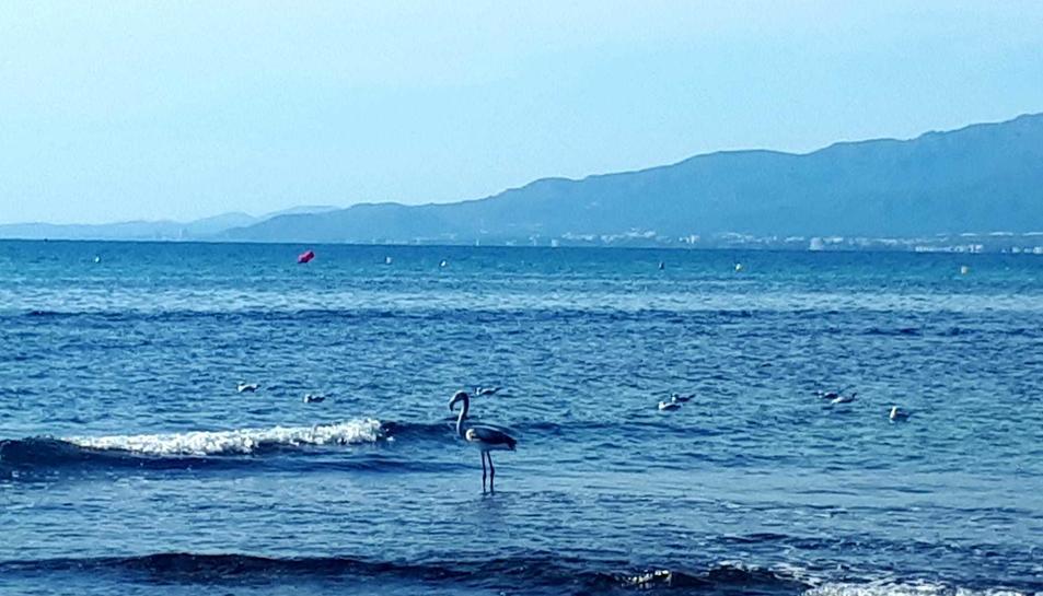 L'exemplar, de curta edat ha fet acte de presència a la costa cambrilenca aquest migdia