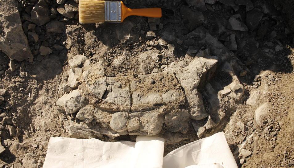 Pla detall de la costella de vaca marina de fa 42 milions d'anys descoberta a Folgueroles.