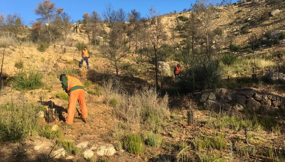 En total s'han plantat més de 5.000 arbres en 10,5 hectàrees.