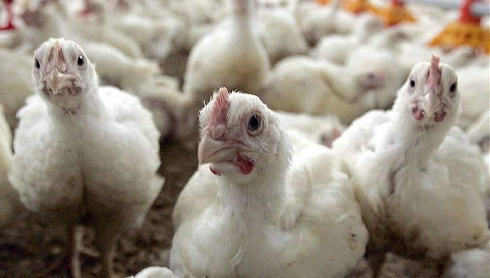 Un grup pollastres, en una granja.