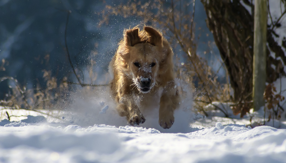 Imatge d'arxiu d'un gos a la neu.