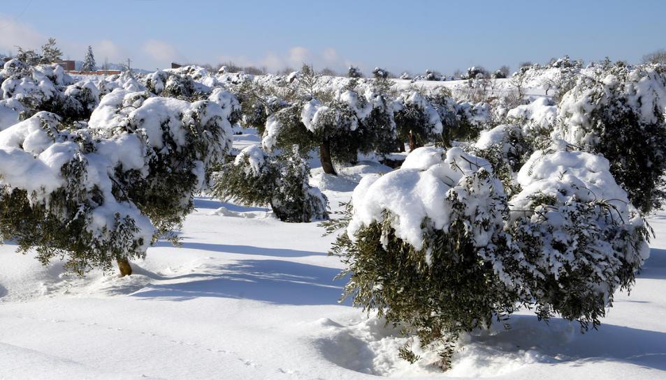 Pla general d'un camp d'oliveres cobertes de neu caiguda pel temporal Filomena