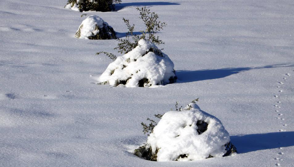 Pla mitjà on es poden veure oliveres joves, pràcticament colgades per la neu, en un camp a Vinaixa