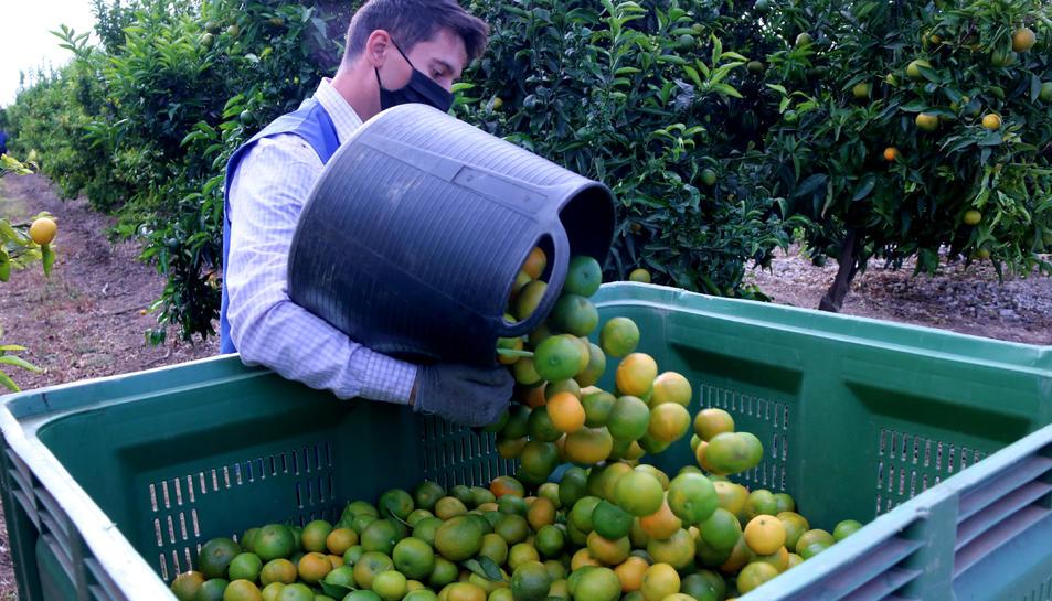 Pla mitjà d'un collidor de mandarines buidant un dels basquets en una caixa.