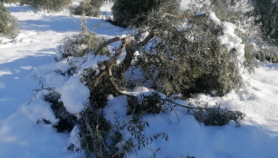 Una branca d'olivera de la DOP Siurana, trencada per la nevada del temporal Filomena.