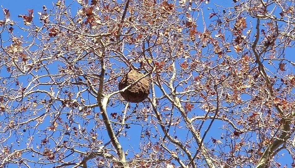 Un niu de vespa asiàtica dalt d'un arbre.