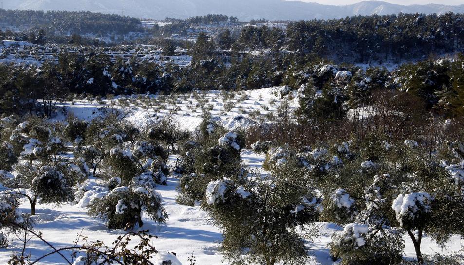 Pla general on es pot veure un camp d'oliveres amb arbres amb rames trencades pel pes de la neu, a Vinaixa.