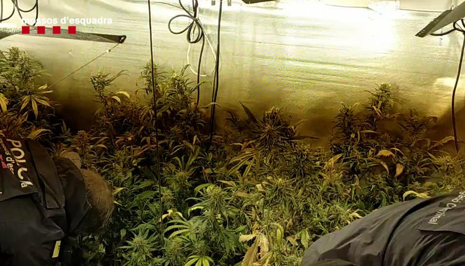Una de les plantacions de marihuana desmantellades.