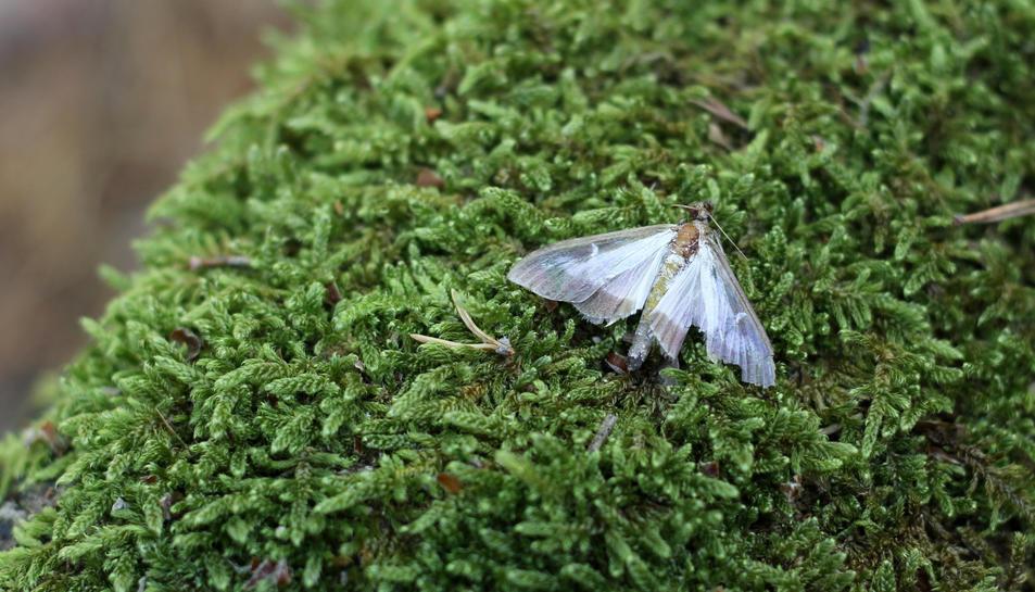 Pla detall d'una papallona del boix al parc natural dels Ports.