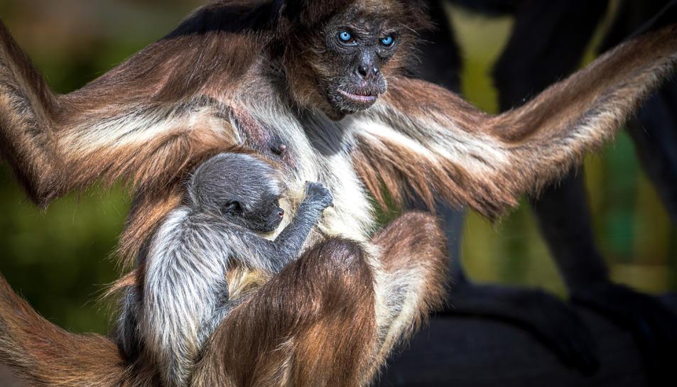 La cria de la mona aranya amb la seva mare, l'Emi, al Zoo de Barcelona.