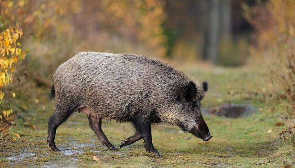 Imatge d'arxiu d'un porc senglar.