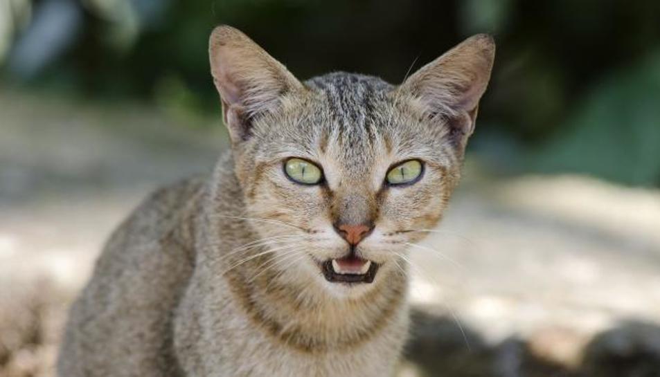 Imatge d'un gat domèstic.