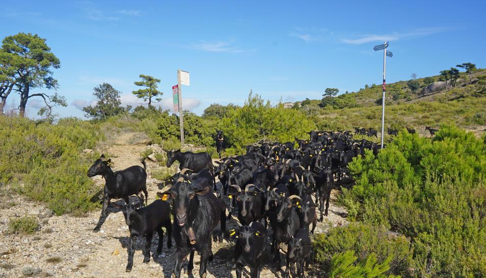 El ramat de cabres de Daniel Giralto.