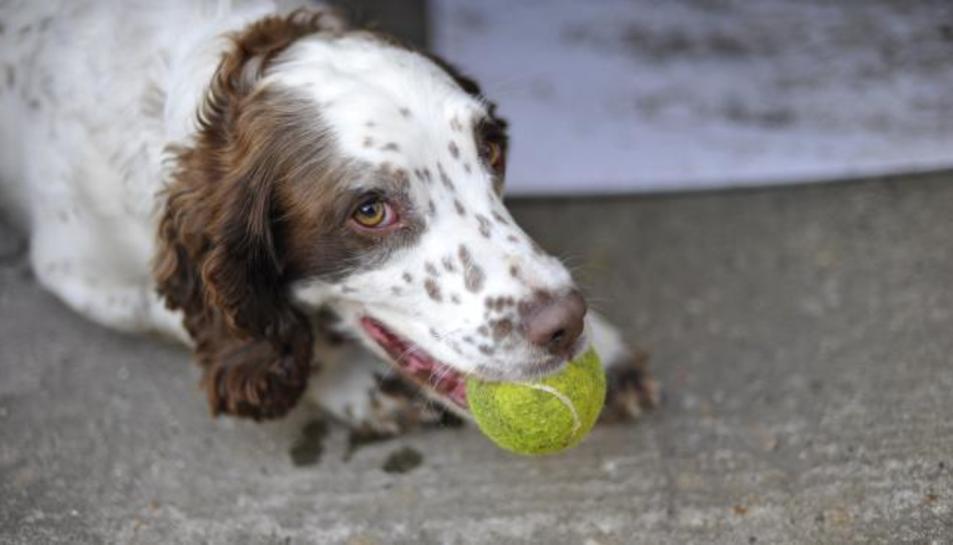 Imatge d'un gos amb una pilota de tennis a la boca.